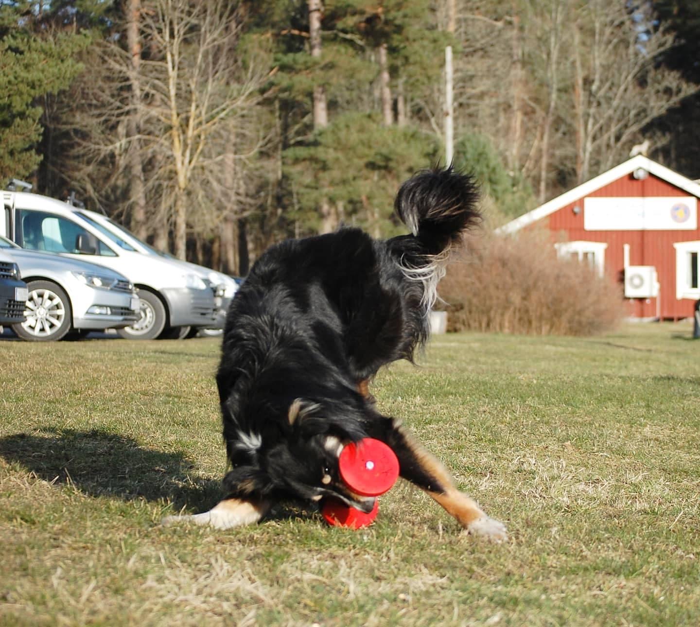 HDA Certifierad Fystränare för Hund